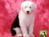 纯种英国古代牧羊犬 白头通背双蓝眼体态完美 完美售后