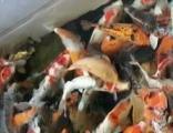 全生态鱼池免换水吻手鱼、