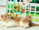 猫舍出售宠物猫活体幼猫 加菲猫黄白加菲红虎斑公母均