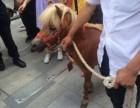 上海宝山区矮脚马转租-设特兰矮马租赁-小矮马出租-婚礼庆典