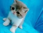 自家猫舍出售各种品种猫,品相好价不高
