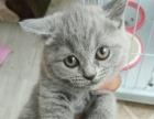 英短折耳立耳渐层奶猫