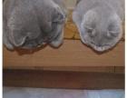 纯种蓝猫,英短小猫,马上临产,喜欢可以关注