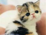浙江金华双血统净梵加菲猫多少钱
