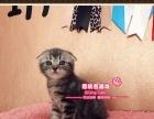 傻呆萌的虎斑折耳猫小弟弟(根折)-《思晴名猫坊》
