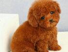 哪里有卖泰迪犬泰迪犬多少钱泰迪犬图片泰迪犬幼犬