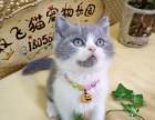 宠物猫纯种英短蓝猫加菲转让 双飞猫宠物乐园 支持淘宝