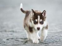 犬舍繁殖纯种哈士奇,品相好保健康,价格公正,可视频挑选