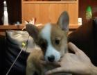 品牌直销,全国连锁~~极品威尔士柯基,双色柯基幼犬