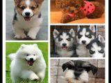北京出售哈士奇博美幼犬專賣純種比熊寵物幼犬