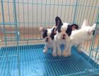 成都本地出售 上门低价 法国斗牛犬 疫苗齐全一可看狗
