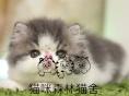 自家繁育CFA异国短毛猫梵文异短加菲猫赛级