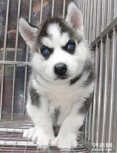超萌哈士奇-蓝眼三火-健康品质保障-是你的理想爱宠