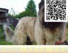 哪里出售高加索犬 纯种高加索多少钱