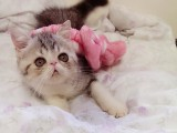 广州正规猫舍广州猫舍广州加菲猫幼崽广州加菲猫价格