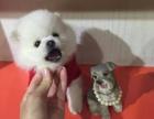 南京出售哈多利球体博美幼犬 南京有黄白色博美 南京博美多少钱