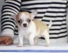厦门出售2 4个月幼犬(吉娃娃)疫苗齐签协议