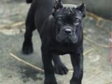 纯种双血统卡斯罗什么价位 护卫犬哪里有卡斯罗卖 高品质卡斯罗
