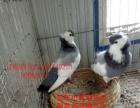出售元宝鸽、毛领鸽、观赏鸽、肉鸽、淑女鸽、观赏鸽、眼睛球鸽等