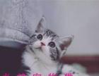 杭州猫舍出售美短虎斑 美短加白防疫齐全保健康纯种