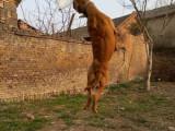 纯种比特犬 自家养殖 品相一流 包健康 上门看狗