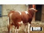 出售夏洛莱 利木赞育肥小牛犊
