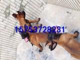 芜湖马犬多少钱一只,哪里有马犬幼犬出售,多少钱一只马犬幼犬