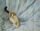 卷耳小母2800 猫咪价格以标题价格为准