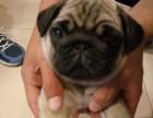 出售极品巴哥幼犬/大眼/螺丝尾/鹰版/褶皱脸/包纯种健康