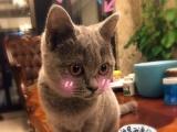 自己养的英短蓝猫生了一窝5只,断奶转让了