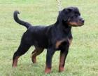 较大宠物养殖基地【销售总部】常年出售各种精品宠物幼犬