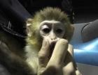 小宠物石猴长大的