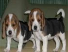 米格鲁猎兔犬三色比格犬包纯种健康签协议上门可优惠