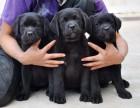 拉布拉多犬 有**的健康及血统保证 网上挑选 送货