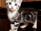 美国短毛猫虎斑加白