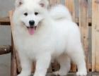 成都哪里出售萨摩耶犬 成都萨摩耶犬多少钱
