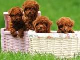 上海 純種泰迪幼犬 疫苗齊全出售中 可簽協議健康保障