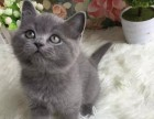 纯种蓝猫 保纯保健康 异地可发货