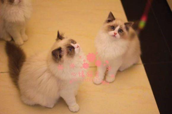 厦门哪里有卖纯种布偶猫呢?厦门布偶猫一只多少钱呢