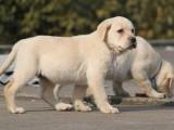 懷化拉拉犬保純種健康 24小時營業隨時上門看狗可送貨上門
