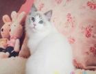 因猫舍搬迁南京纯种布偶种公猫转让