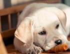 高品质拉拉犬 免费送货到家 售后签订协议 全天看狗