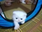 家有法国高血统加菲猫宝宝出售