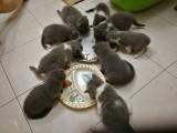 我家折耳猫配蓝猫,一胎九只