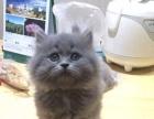 蓝猫中长毛弟弟丁香色弟弟888 猫咪价格以标题价格