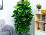 广州绿植物出租 绿植租赁 满壹年送一个月