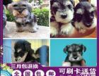 重庆出售 赛级绝版 家庭首选 萌系雪纳瑞