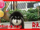 火热直销中高品质赛级直系一熊版阿拉斯加幼犬购买签协议保