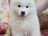 纯种萨摩耶幼犬,微笑萌神,雪白俏皮可爱