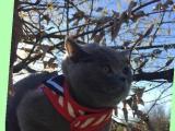 家中英国短毛猫4个月了给喜欢的朋友养吧